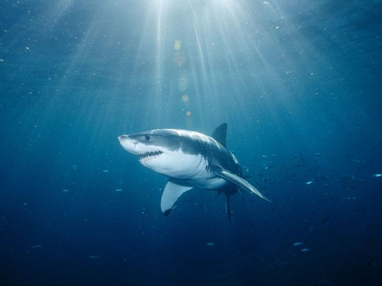 Great White Shark - (C) Brian Skerry