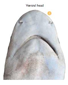 Snout of Blacktip - viewed underneath