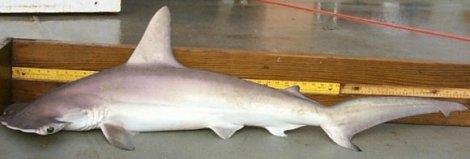 Sphyrna gilberti - Carolina Hammerhead Shark