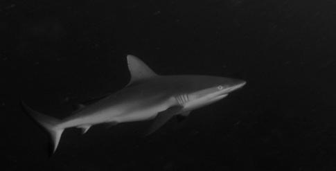 Grey Shark In Morotai