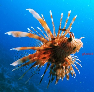 Lion Fish can easily be identified
