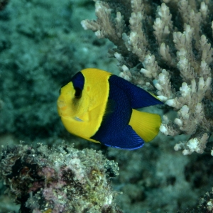 Angelfish Dua Warna
