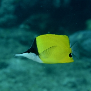 Big Longnose Butterfly Fish