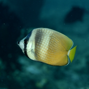 Blacklip Butterfly Fish