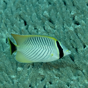 Chevroned Butterfly Fish