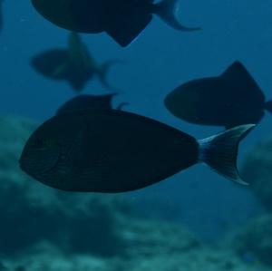 Free-lined Surgeonfish