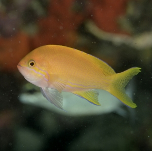 Shen's Anthias (female)