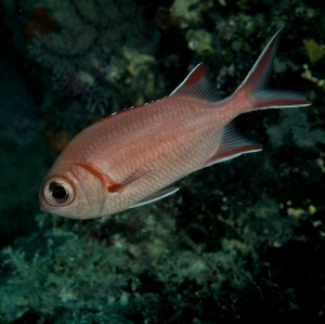 Whitetip Soldierfish