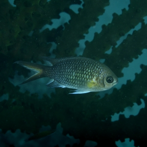 Yellow-axil Chromis