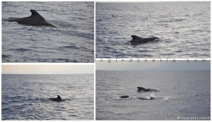 Short-Finned Pilot Whale - Morotai