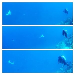 Whitespotted Eagle Ray whipped its way