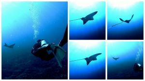 Sway, sway little eagle ray..