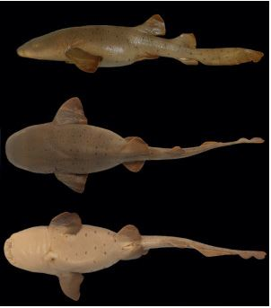 Ginglymostoma unami