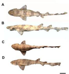 Scyliorhinus