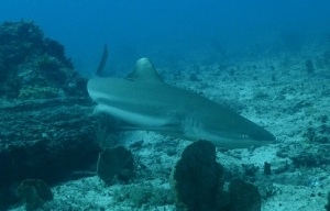 Morotai Shark